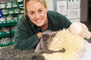 Perth Zoo keeper with a baby Javan Gibbon